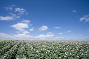 ジャガイモの花と青空の素材 [FYI00950969]