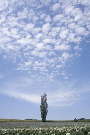 ポプラの木とジャガイモ畑の素材 [FYI00951006]