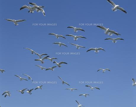 空を飛ぶかもめの群れの素材 [FYI00951107]