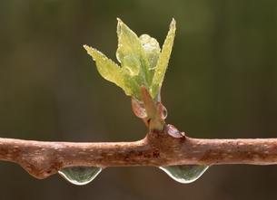 新芽と水滴の素材 [FYI00951172]