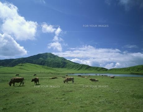 草千里と牛の素材 [FYI00951223]