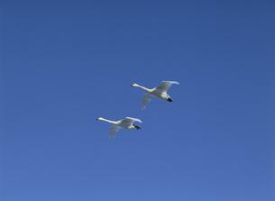 青空を飛ぶ2羽の白鳥の素材 [FYI00951259]