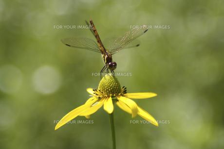 黄色い花にとまるトンボの素材 [FYI00951400]