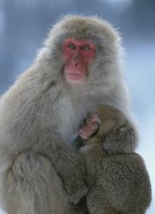 親子猿の素材 [FYI00952038]