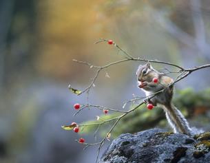 枝の上で実を食べるシマリスの素材 [FYI00952184]