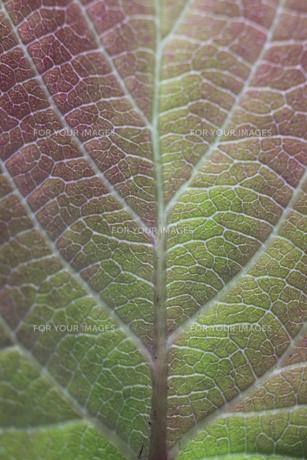 ヒョウガミズキの若葉の素材 [FYI00952407]