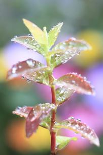 ヒペリカムヒデコート若葉の水滴の素材 [FYI00952473]