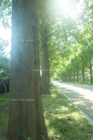 新緑のメタセコイヤ並木の素材 [FYI00952668]