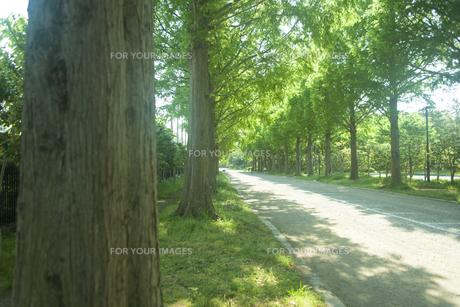 新緑のメタセコイヤ並木の素材 [FYI00952679]
