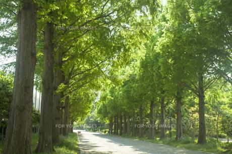 新緑のメタセコイヤ並木の素材 [FYI00952680]