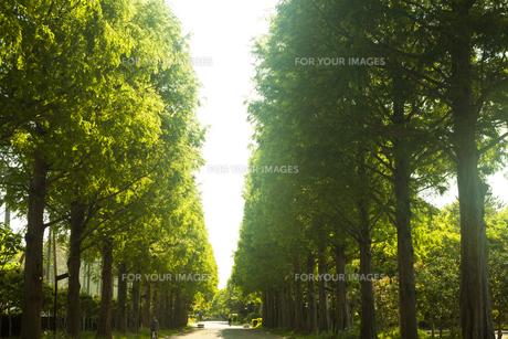 新緑のメタセコイヤ並木の素材 [FYI00952683]