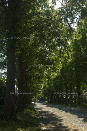 新緑のメタセコイヤ並木の素材 [FYI00952709]