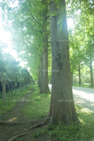 新緑のメタセコイヤ並木の素材 [FYI00952717]