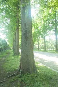 新緑のメタセコイヤ並木の素材 [FYI00952795]
