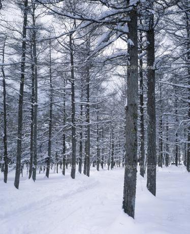 雪のカラマツ並木の素材 [FYI00953275]