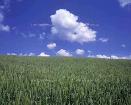 麦畑と雲の素材 [FYI00953348]
