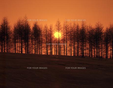 雪原の並木と日の出の素材 [FYI00953390]
