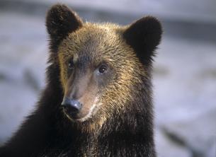 熊の素材 [FYI00953637]
