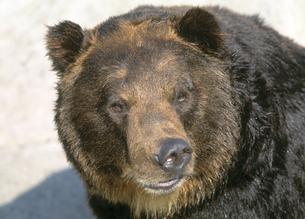熊の素材 [FYI00953641]