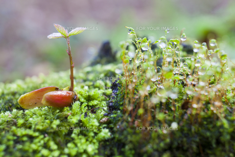 コナラの新芽と苔の素材 [FYI00953897]