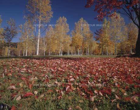 さくらの落葉と白樺並木の素材 [FYI00954437]