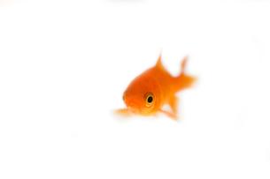 金魚の素材 [FYI00955037]