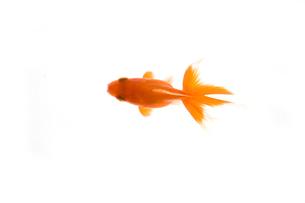 金魚の素材 [FYI00955119]