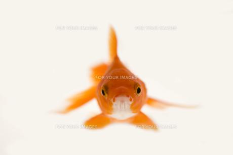 金魚の素材 [FYI00955144]