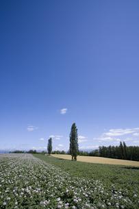 ジャガイモ畑とポプラの素材 [FYI00955488]