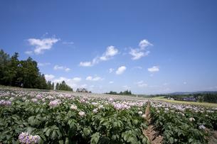 ジャガイモの花咲く丘の素材 [FYI00955558]