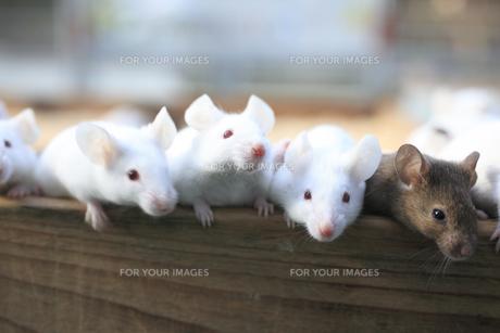 ネズミの素材 [FYI00955594]
