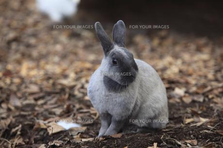 ウサギの素材 [FYI00955674]