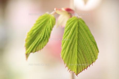 キリシマミズキの若葉の素材 [FYI00955826]
