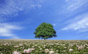 ジャガイモ畑と一本の木の素材 [FYI00956528]