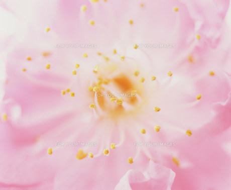 花の素材 [FYI00960176]