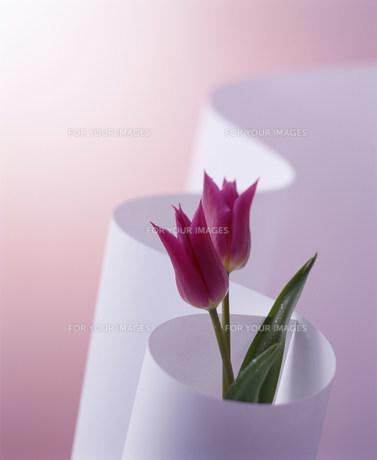 ピンクのチューリップと白い曲線の素材 [FYI00960441]