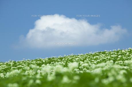 丘に咲くジャガイモの花と雲の素材 [FYI00960545]