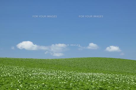 ジャガイモの花の丘と青空の素材 [FYI00960992]