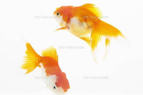 水槽で泳ぐ2匹の金魚の素材 [FYI00962588]
