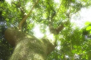新緑の大木(タブノキ)の素材 [FYI00963179]