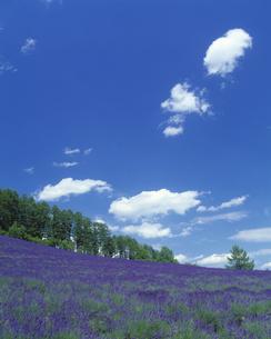青空とラヴェンダー畑の素材 [FYI00968769]