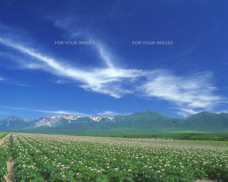 花咲くジャガイモ畑と十勝岳連峰の素材 [FYI00968840]