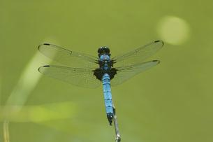 羽を休めるオオシオカラトンボの素材 [FYI00969038]