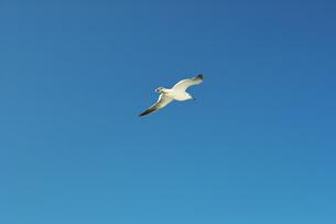 青空に飛ぶカモメの素材 [FYI00969052]