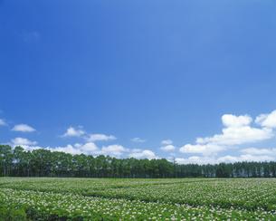 ジャガイモ畑と青空の素材 [FYI00969198]