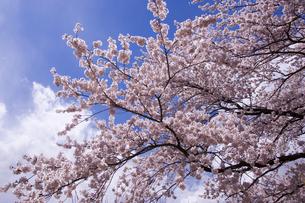 桜と青空の素材 [FYI00975609]
