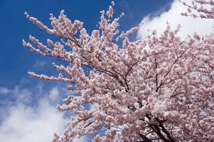 桜と青空の素材 [FYI00975721]