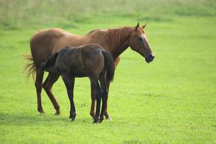 授乳する馬の母子の素材 [FYI00976500]