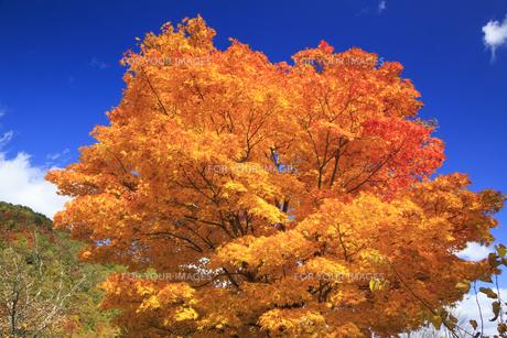 黄葉のモミジの木と青空の素材 [FYI00979789]