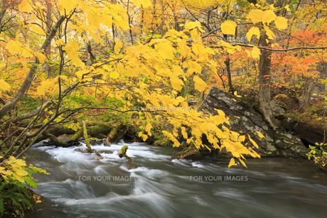 秋の奥入瀬渓流の素材 [FYI00979931]